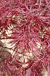 Red Dragon Japanese Maple (Acer palmatum 'Red Dragon') at Valley View Farms