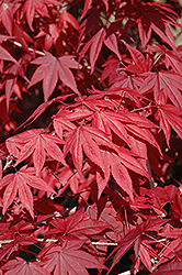 Emperor I Japanese Maple (Acer palmatum 'Wolff') at Valley View Farms