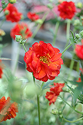 Blazing Sunset Avens (Geum 'Blazing Sunset') at Valley View Farms