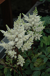 Younique White Astilbe (Astilbe 'Verswhite') at Valley View Farms