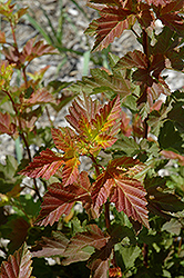 Amber Jubilee™ Ninebark (Physocarpus opulifolius 'Jefam') at Valley View Farms