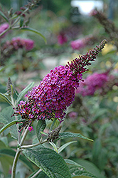 Miss Ruby Butterfly Bush (Buddleia davidii 'Miss Ruby') at Valley View Farms