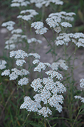 Common Yarrow (Achillea millefolium) at Valley View Farms
