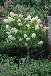 Limelight Hydrangea (tree form) (Hydrangea paniculata 'Limelight (tree form)') at Valley View Farms