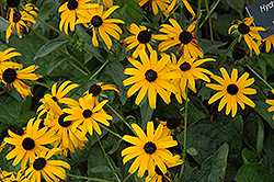 Pot Of Gold Coneflower (Rudbeckia fulgida 'Pot Of Gold') at Valley View Farms