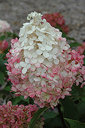 Vanilla Strawberry™ Hydrangea (Hydrangea paniculata 'Renhy') at Valley View Farms