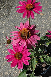 PowWow Wild Berry Coneflower (Echinacea purpurea 'PowWow Wild Berry') at Valley View Farms