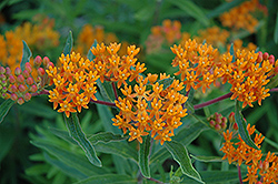Gay Butterflies Butterfly Weed (Asclepias tuberosa 'Gay Butterflies') at Valley View Farms