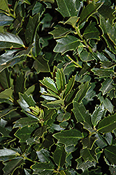 Oakland™ Holly (Ilex 'Magland') at Valley View Farms