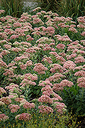 Autumn Joy Stonecrop (Sedum 'Autumn Joy') at Valley View Farms