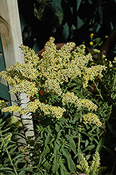 Little Lemon Goldenrod (Solidago 'Dansolitlem') at Valley View Farms