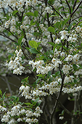 Japanese Snowbell (Styrax japonicus) at Valley View Farms
