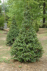 Castle Spire® Meserve Holly (Ilex x meserveae 'Hachfee') at Valley View Farms
