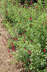 Furman's Red Texas Sage (Salvia greggii 'Furman's Red') at Valley View Farms