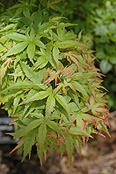 Sharp's Pygmy Japanese Maple (Acer palmatum 'Sharp's Pygmy') at Valley View Farms