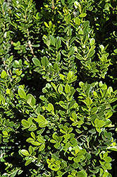 Baby Gem™ Boxwood (Buxus microphylla 'Gregem') at Valley View Farms