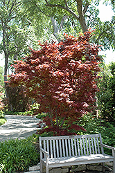 Pixie Japanese Maple (Acer palmatum 'Pixie') at Valley View Farms