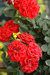 Autumn Sunblaze® Rose (Rosa 'Meiferjac') at Valley View Farms