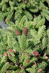 Pusch Spruce (Picea abies 'Pusch') at Valley View Farms