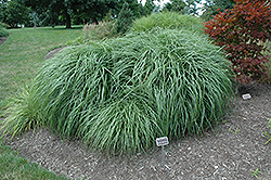 Adagio Maiden Grass (Miscanthus sinensis 'Adagio') at Valley View Farms