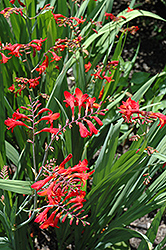 Emberglow Crocosmia (Crocosmia 'Emberglow') at Valley View Farms