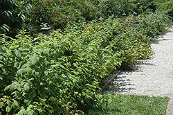 Heritage Raspberry (Rubus 'Heritage') at Valley View Farms