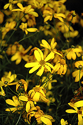 Electric Avenue Tickseed (Coreopsis verticillata 'Electric Avenue') at Valley View Farms
