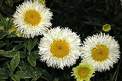 Real Galaxy Shasta Daisy (Leucanthemum x superbum 'Real Galaxy') at Valley View Farms