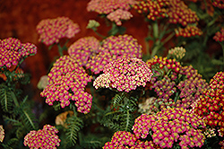 New Vintage Rose Yarrow (Achillea millefolium 'Balvinrose') at Valley View Farms