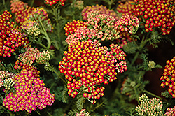 New Vintage Red Yarrow (Achillea millefolium 'Balvinred') at Valley View Farms
