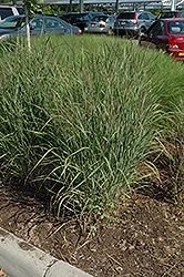 Ruby Ribbons Switch Grass (Panicum virgatum 'Ruby Ribbons') at Valley View Farms