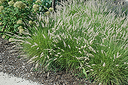 Oriental Fountain Grass (Pennisetum orientale) at Valley View Farms