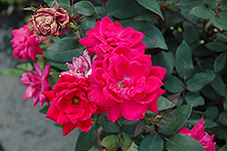 Red Double Knock Out Rose (Rosa 'Red Double Knock Out') at Valley View Farms