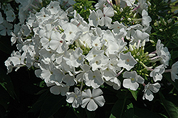 White Flame Garden Phlox (Phlox paniculata 'White Flame') at Valley View Farms