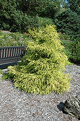 Lemon Thread Falsecypress (Chamaecyparis pisifera 'Lemon Thread') at Valley View Farms