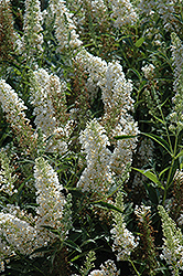 Buzz Ivory Butterfly Bush (Buddleia 'Tobuivo') at Valley View Farms