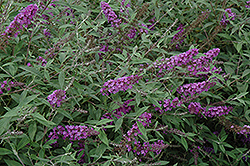 Flutterby Petite® Dark Pink Butterfly Bush (Buddleia davidii 'Podaras 10') at Valley View Farms