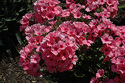 Light Pink Flame Garden Phlox (Phlox paniculata 'Bareleven') at Valley View Farms