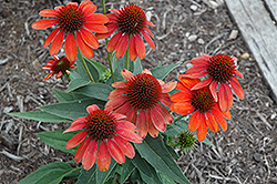 Sombrero® Flamenco Orange Coneflower (Echinacea 'Balsomenco') at Valley View Farms