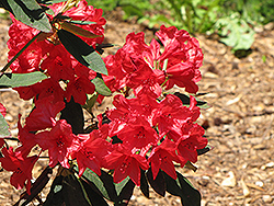 Vulcan Rhododendron (Rhododendron 'Vulcan') at Valley View Farms
