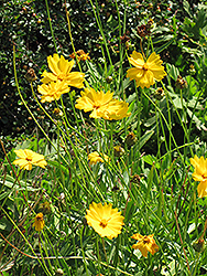 Lanceleaf Tickseed (Coreopsis lanceolata) at Valley View Farms