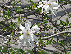 Royal Star Magnolia (Magnolia stellata 'Royal Star') at Valley View Farms