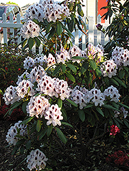 Calsap Rhododendron (Rhododendron 'Calsap') at Valley View Farms