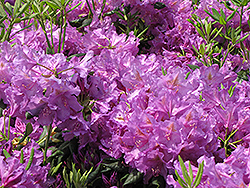 Lee's Dark Purple Rhododendron (Rhododendron catawbiense 'Lee's Dark Purple') at Valley View Farms