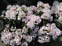 White Catawba Rhododendron (Rhododendron catawbiense 'Album') at Valley View Farms