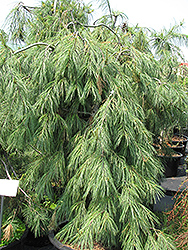 Weeping White Pine (Pinus strobus 'Pendula') at Valley View Farms