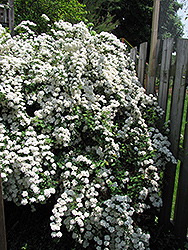 Vanhoutte Spirea (Spiraea x vanhouttei) at Valley View Farms