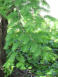 Dawn Redwood (Metasequoia glyptostroboides) at Valley View Farms