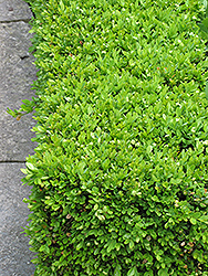 Green Velvet Boxwood (Buxus 'Green Velvet') at Valley View Farms