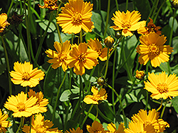 Dwarf Tickseed (Coreopsis auriculata 'Nana') at Valley View Farms